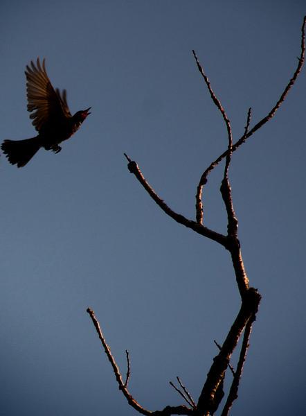 A juvenile American robin (Turdus migratorius) in flight (2009_09_06_028805)