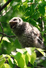 Barred owlet yawn<br /> Fairfax County, Virginia