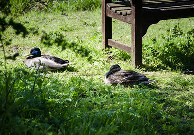 Malard Ducks on grass