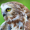 """  Northern Saw-whet Owl  """