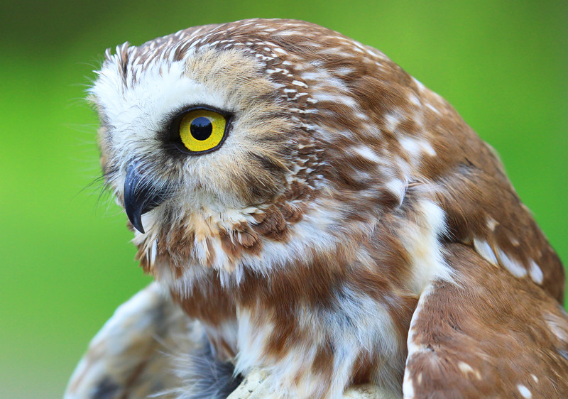 """""""  Northern Saw-whet Owl  """""""
