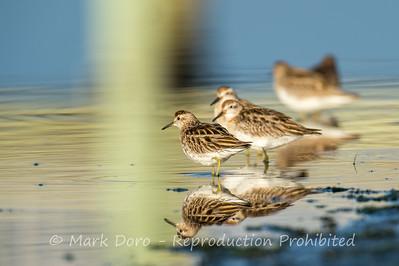 Sharp-tailed Sandpiper, Truganina Swamp, Altona, Victoria