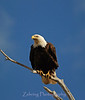Although still a protected species, the bald eagle is making a healthy come-back in population. Still a rare sight and breathtaking to behold.