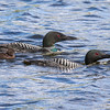 Loons With Chick  2
