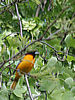 Baltimore Oriole {{Icterus galbula}<br /> © WEOttinger, The Wildflower Hunter - All rights reserved<br /> For educational use only - this image, or derivative works, can not be used, published, distributed or sold without written permission of the owner.