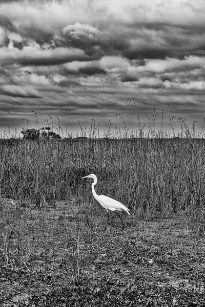 Everglades 033 BW<br /> <br /> A beautiful Great White Egret on the hunt for breakfast in the tall grasses commonly found in the Everglades Park. Check out the amazing detail in the clouds to help enhance the image.<br /> <br /> This image can also be found in the Florida gallery, via Places.