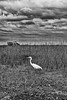 Everglades 033 BW  A beautiful Great White Egret on the hunt for breakfast in the tall grasses commonly found in the Everglades Park. Check out the amazing detail in the clouds to help enhance the image.  This image can also be found in the Florida gallery, via Places.