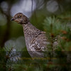 Grouse in Fir
