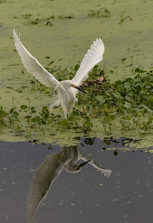 Snowy Egret Reflection