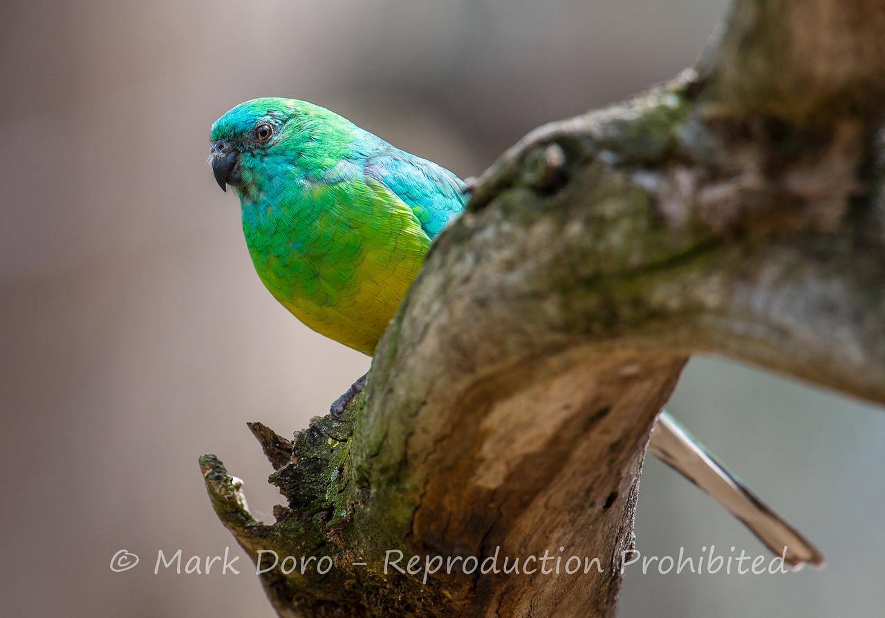 Turquoise Parrot, Serendip Sanctuary, Lara, Victoria