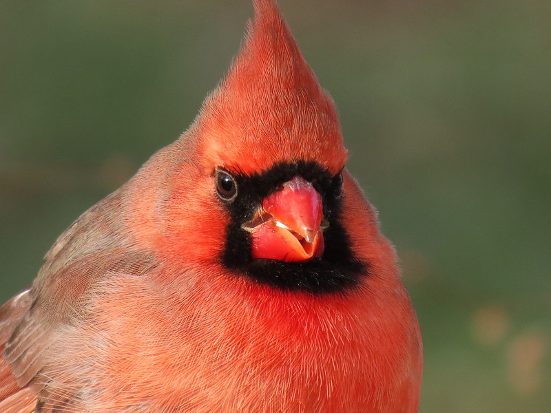 Cardinal on a very cold December 24, 2012.