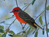 Vermillion Flycatcher {Pyrocephalus rubinus}<br /> Tucson, AZ<br /> On my way to a spring training baseball game in AZ when I cane across this in the lower branches of a tree.  So I was not set up for birding.  Again with low light and telephoto should have upped the ISO.  This image was cropped and used Photoshop's shadow and highlights adjustment.<br /> © WEOttinger, The Wildflower Hunter - All rights reserved<br /> For educational use only - this image, or derivative works, can not be used, published, distributed or sold without written permission of the owner.