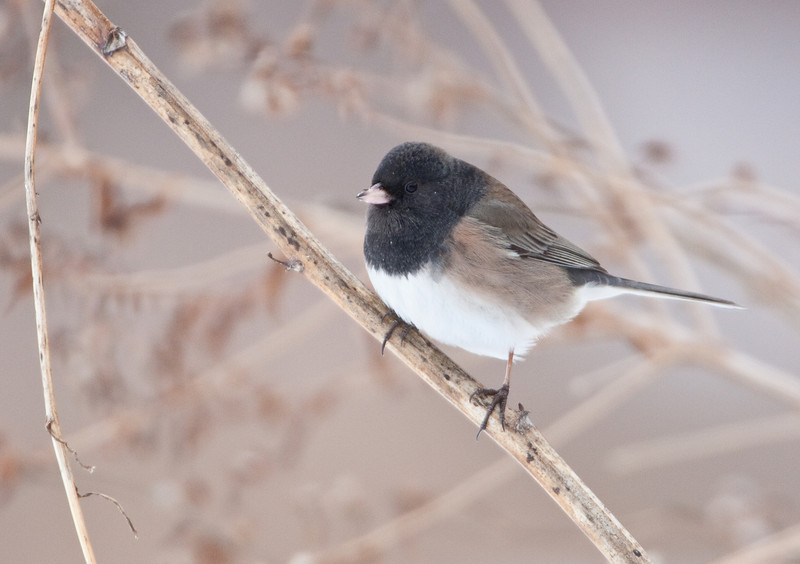 Oregon Junco - January 17, 2011 - Secor Metropark