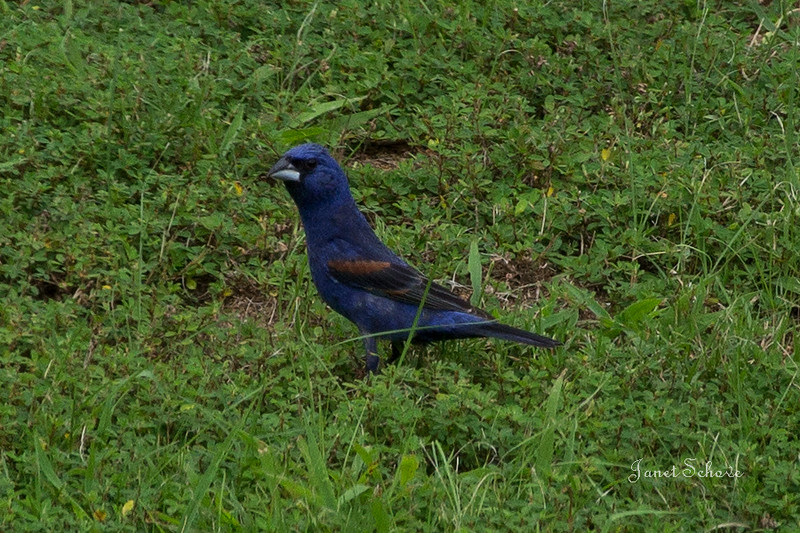 IMAGE: http://jschove.smugmug.com/Nature/Birds/i-vvxFSsN/0/XL/Blue%20Grosbeak_8290-XL.jpg