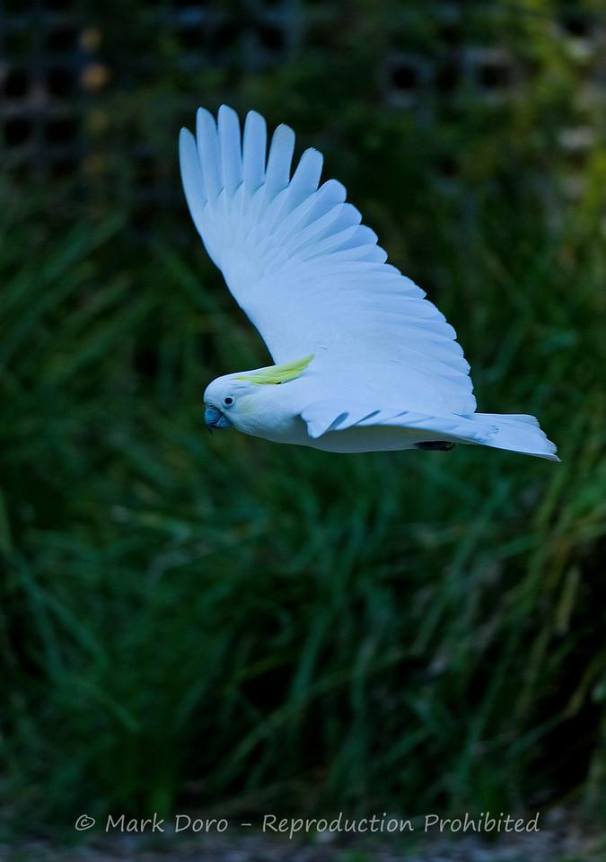 Sulphur-crested Cockatoo, Healesville, Victoria