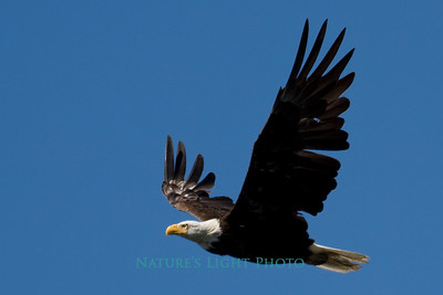 Bald Eagle, American Lake, WA