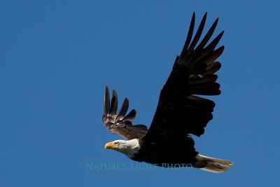 Bald Eagle, American Lake, WA