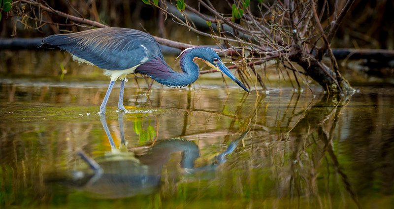 Hunting Little Blue Heron
