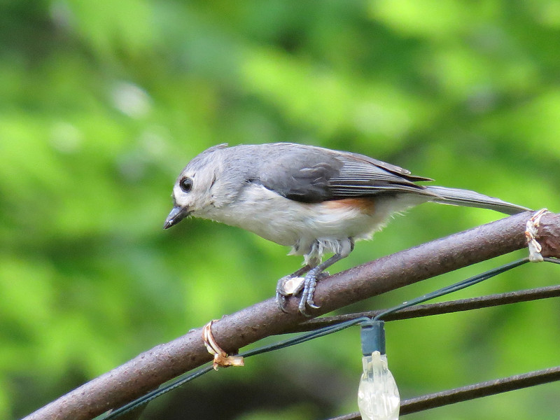 Titmouse holding a sunflower seed with its feet.