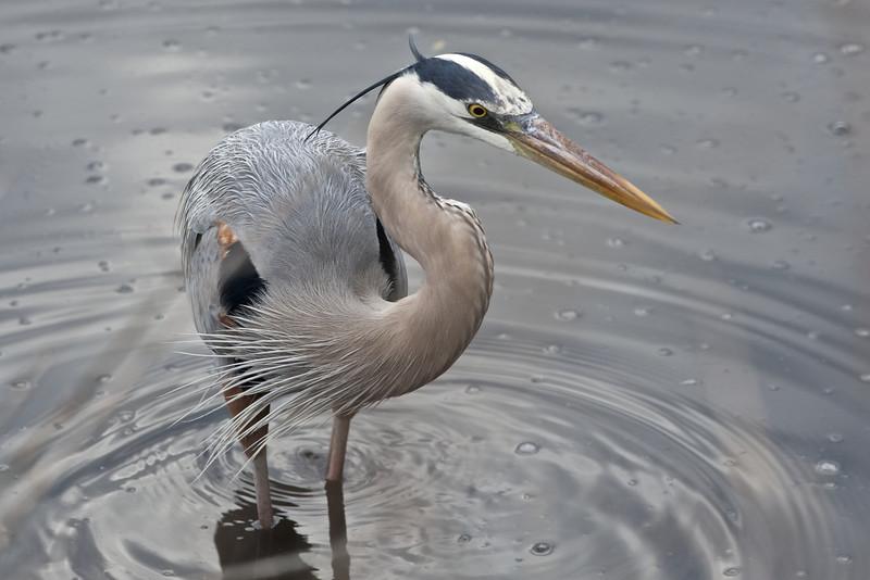 Great Blue Heron, Merritt Island National Wildlife Refuge, Florida