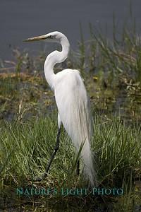 White Egret, Dunedin, FL