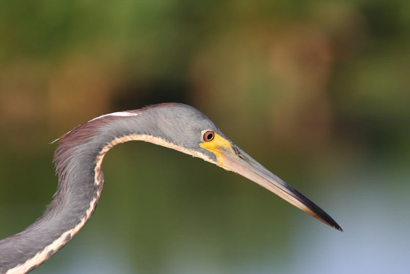 Blue Heron, up close, Green Cay wetlands