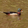 Wood Duck at the LA Country Arboretum - 6 Mar 2011