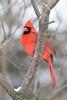 Cardinal - March 2008