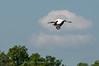 Wood Stork Heron