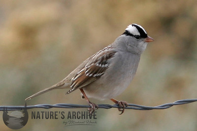 White-Crowned Sparrow, Gilbert, AZ