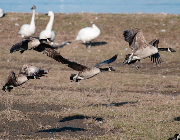 Canada Geese, Dropping In, Aylmer