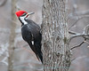Pileated Woodpecker in Virginia woodlands.