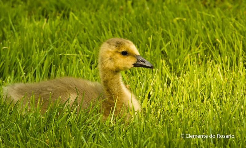 Canadian Geese Gosling, Oakville,Ontario