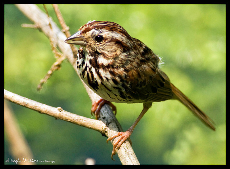 Song Sparrow<br /> (Melospiza Melodia)