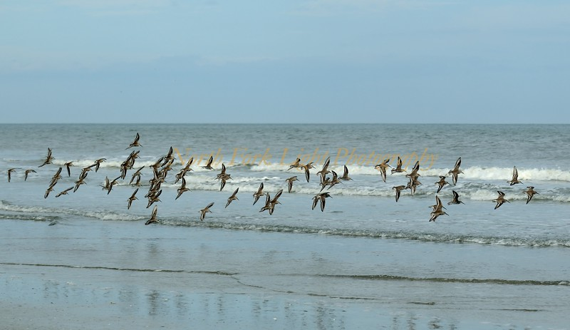 Dunlins in flight.
