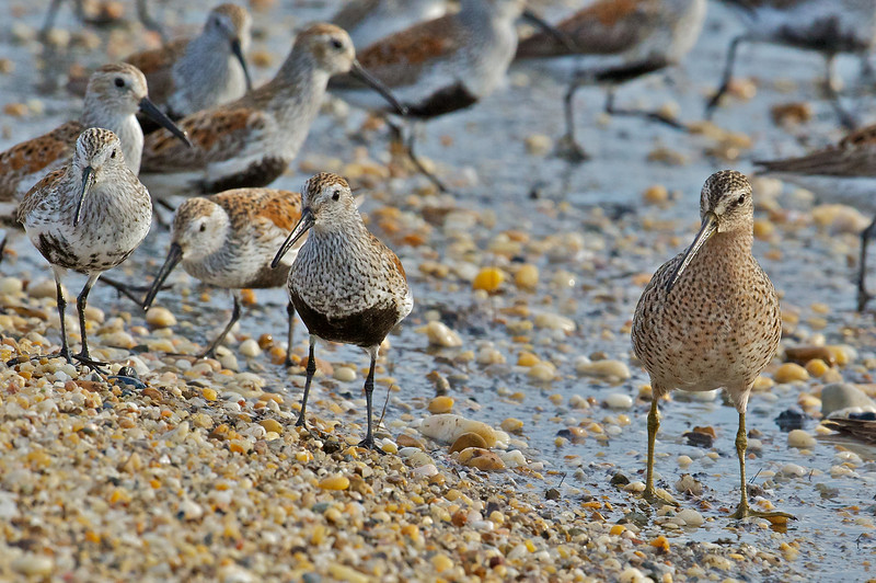 Shorebirds, Delaware Bay