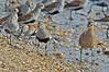 Shorebirds, Delaware Bay