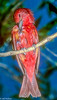Summer Tanager in Tucson aviary