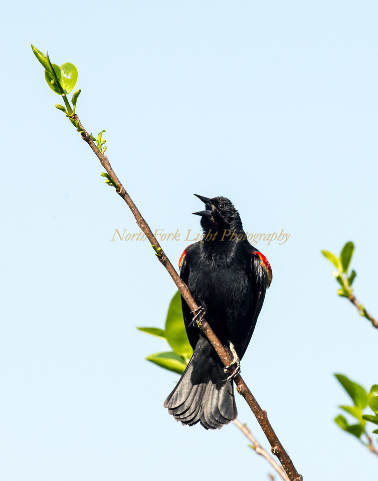 Red-wing Blackbird calling