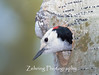 Male White-Headed Woodpecker peers out from the nest he has prepaired for his mate