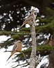 """Keeping Watch""  Mourning Doves (Zenaida macroura)"