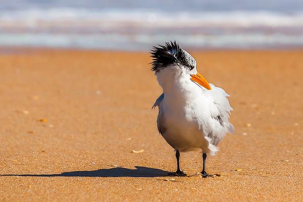 Royal Tern, the Beachside Commedians