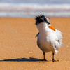 Royal Tern, the Beachside Commedians