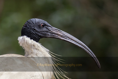 Portrait of an Australian White Ibis