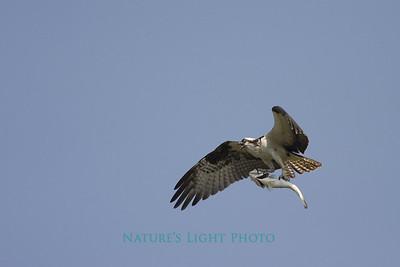 Osprey with Dinner, Honeymoon Island State Park, FL