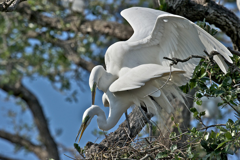 Great Egrets Mating, St. Augustine, Florida