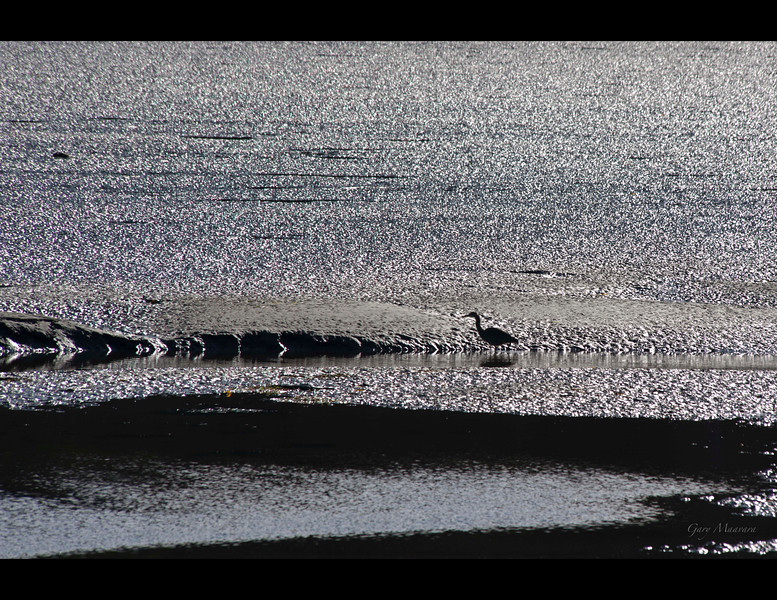 Great Blue Heron in Grice Bay at low tide near Tofino, BC.