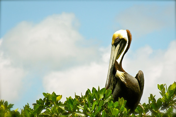 Brown Pelican Showing His Good Side