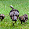 Turkey Family 2