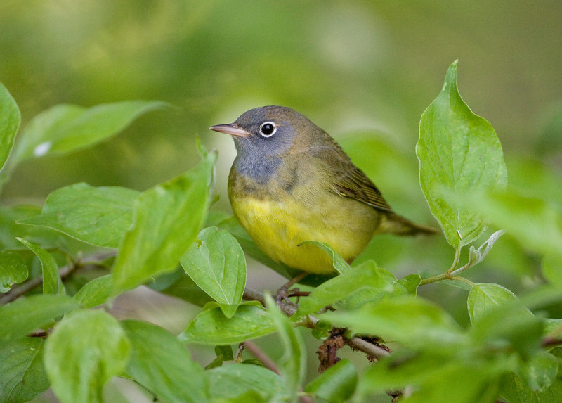 Connecticut Warbler - Magee Marsh - May 2008 - Another Great Look! This makes two days in a row for this one!